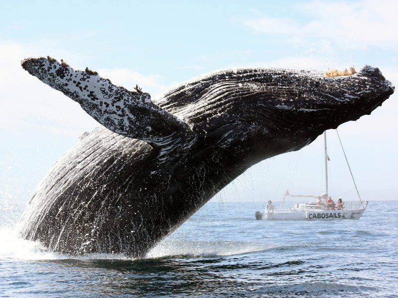 Transportation Service Los Cabos, BCS - Whale Watching